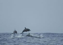 Seminarreisen auf Hawaii - Delfine